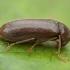 Skaptukas - Ernobius mollis ♂ | Fotografijos autorius : Žilvinas Pūtys | © Macrogamta.lt | Šis tinklapis priklauso bendruomenei kuri domisi makro fotografija ir fotografuoja gyvąjį makro pasaulį.