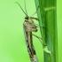 Skorpiommusė - Panorpa sp. | Fotografijos autorius : Žilvinas Pūtys | © Macrogamta.lt | Šis tinklapis priklauso bendruomenei kuri domisi makro fotografija ir fotografuoja gyvąjį makro pasaulį.