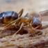 Skruzdėlė - Lasius alienus | Fotografijos autorius : Romas Ferenca | © Macrogamta.lt | Šis tinklapis priklauso bendruomenei kuri domisi makro fotografija ir fotografuoja gyvąjį makro pasaulį.