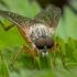 Slankmusė - Rhagio annulatus | Fotografijos autorius : Žilvinas Pūtys | © Macrogamta.lt | Šis tinklapis priklauso bendruomenei kuri domisi makro fotografija ir fotografuoja gyvąjį makro pasaulį.
