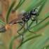 Smėlinė amofila - Ammophila sabulosa ♀ | Fotografijos autorius : Žilvinas Pūtys | © Macrogamta.lt | Šis tinklapis priklauso bendruomenei kuri domisi makro fotografija ir fotografuoja gyvąjį makro pasaulį.