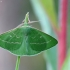 Smaragdinis žaliasprindis - Thetidia smaragdaria | Fotografijos autorius : Vidas Brazauskas | © Macrogamta.lt | Šis tinklapis priklauso bendruomenei kuri domisi makro fotografija ir fotografuoja gyvąjį makro pasaulį.