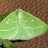 Smaragdinis žaliasprindis - Thetidia smaragdaria | Fotografijos autorius : Ramunė Vakarė | © Macrogamta.lt | Šis tinklapis priklauso bendruomenei kuri domisi makro fotografija ir fotografuoja gyvąjį makro pasaulį.