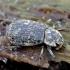 Smiltvabalis - Trox scaber | Fotografijos autorius : Romas Ferenca | © Macrogamta.lt | Šis tinklapis priklauso bendruomenei kuri domisi makro fotografija ir fotografuoja gyvąjį makro pasaulį.