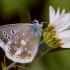 Smiltyninis melsvys - Polyommatus dorylas | Fotografijos autorius : Vaida Paznekaitė | © Macrogamta.lt | Šis tinklapis priklauso bendruomenei kuri domisi makro fotografija ir fotografuoja gyvąjį makro pasaulį.