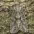 Smulkiamargis vėlyvis - Dryobotodes eremita | Fotografijos autorius : Žilvinas Pūtys | © Macrogamta.lt | Šis tinklapis priklauso bendruomenei kuri domisi makro fotografija ir fotografuoja gyvąjį makro pasaulį.