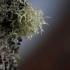 Sodinė briedragė - Evernia prunastri | Fotografijos autorius : Kęstutis Obelevičius | © Macrogamta.lt | Šis tinklapis priklauso bendruomenei kuri domisi makro fotografija ir fotografuoja gyvąjį makro pasaulį.