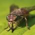 Sparva - Tabanidae sp. | Fotografijos autorius : Agnė Našlėnienė | © Macrogamta.lt | Šis tinklapis priklauso bendruomenei kuri domisi makro fotografija ir fotografuoja gyvąjį makro pasaulį.