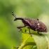 Straubliukas - Lepyrus palustris | Fotografijos autorius : Oskaras Venckus | © Macrogamta.lt | Šis tinklapis priklauso bendruomenei kuri domisi makro fotografija ir fotografuoja gyvąjį makro pasaulį.