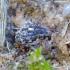 Straubliukas - Rhinoncus castor | Fotografijos autorius : Romas Ferenca | © Macrogamta.lt | Šis tinklapis priklauso bendruomenei kuri domisi makro fotografija ir fotografuoja gyvąjį makro pasaulį.