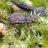Straubliukas - Strophosoma faber | Fotografijos autorius : Kazimieras Martinaitis | © Macrogamta.lt | Šis tinklapis priklauso bendruomenei kuri domisi makro fotografija ir fotografuoja gyvąjį makro pasaulį.