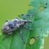 Straubliukas - Hypera rumicis | Fotografijos autorius : Gintautas Steiblys | © Macrogamta.lt | Šis tinklapis priklauso bendruomenei kuri domisi makro fotografija ir fotografuoja gyvąjį makro pasaulį.