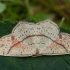 Taškuotasis taškasprindis - Cyclophora punctaria | Fotografijos autorius : Žilvinas Pūtys | © Macrogamta.lt | Šis tinklapis priklauso bendruomenei kuri domisi makro fotografija ir fotografuoja gyvąjį makro pasaulį.
