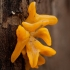 Tampriagrybis - Calocera furcata | Fotografijos autorius : Žilvinas Pūtys | © Macrogamta.lt | Šis tinklapis priklauso bendruomenei kuri domisi makro fotografija ir fotografuoja gyvąjį makro pasaulį.