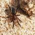 Tamsiadryžis godūnas - Zelotes electus | Fotografijos autorius : Vaida Paznekaitė | © Macrogamta.lt | Šis tinklapis priklauso bendruomenei kuri domisi makro fotografija ir fotografuoja gyvąjį makro pasaulį.