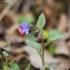 Tamsioji plautė - Pulmonaria obscura | Fotografijos autorius : Vidas Brazauskas | © Macrogamta.lt | Šis tinklapis priklauso bendruomenei kuri domisi makro fotografija ir fotografuoja gyvąjį makro pasaulį.