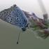 Tamsusis auksinukas - Lycaena tityrus   Fotografijos autorius : Agnė Našlėnienė   © Macrogamta.lt   Šis tinklapis priklauso bendruomenei kuri domisi makro fotografija ir fotografuoja gyvąjį makro pasaulį.