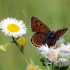 Žvilgantysis auksinukas - Lycaena hippothoe | Fotografijos autorius : Vidas Brazauskas | © Macrogamta.lt | Šis tinklapis priklauso bendruomenei kuri domisi makro fotografija ir fotografuoja gyvąjį makro pasaulį.