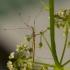 Tikroji lazdablakė – Neides tipularius | Fotografijos autorius : Giedrius Markevičius | © Macrogamta.lt | Šis tinklapis priklauso bendruomenei kuri domisi makro fotografija ir fotografuoja gyvąjį makro pasaulį.