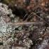 Tikroji lazdablakė - Neides tipularius | Fotografijos autorius : Žilvinas Pūtys | © Macrogamta.lt | Šis tinklapis priklauso bendruomenei kuri domisi makro fotografija ir fotografuoja gyvąjį makro pasaulį.