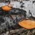 Tikroji raudonpintė - Trametes cinnabarina | Fotografijos autorius : Kazimieras Martinaitis | © Macrogamta.lt | Šis tinklapis priklauso bendruomenei kuri domisi makro fotografija ir fotografuoja gyvąjį makro pasaulį.