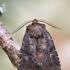 Tramažolinis pelėdgalvis - Charanyca ferruginea | Fotografijos autorius : Arūnas Eismantas | © Macrogamta.lt | Šis tinklapis priklauso bendruomenei kuri domisi makro fotografija ir fotografuoja gyvąjį makro pasaulį.