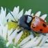 Tridėmis paslėptagalvis - Cryptocephalus trimaculatus | Fotografijos autorius : Gintautas Steiblys | © Macrogamta.lt | Šis tinklapis priklauso bendruomenei kuri domisi makro fotografija ir fotografuoja gyvąjį makro pasaulį.