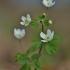 Trilapė bligna - Isopyrum thalictroides | Fotografijos autorius : Kęstutis Obelevičius | © Macrogamta.lt | Šis tinklapis priklauso bendruomenei kuri domisi makro fotografija ir fotografuoja gyvąjį makro pasaulį.