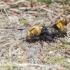 Trumpasparnis (Emus hirtus) | Fotografijos autorius : Aleksandras Naryškin | © Macrogamta.lt | Šis tinklapis priklauso bendruomenei kuri domisi makro fotografija ir fotografuoja gyvąjį makro pasaulį.