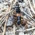 Trumpasparnis - Staphylinus erythropterus | Fotografijos autorius : Kazimieras Martinaitis | © Macrogamta.lt | Šis tinklapis priklauso bendruomenei kuri domisi makro fotografija ir fotografuoja gyvąjį makro pasaulį.