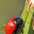 Tuopinis gluosninukas - Chrysomela populi | Fotografijos autorius : Agnė Našlėnienė | © Macrogamta.lt | Šis tinklapis priklauso bendruomenei kuri domisi makro fotografija ir fotografuoja gyvąjį makro pasaulį.