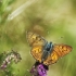 Čiobrelinis auksinukas - Lycaena alciphron | Fotografijos autorius : Vidas Brazauskas | © Macrogamta.lt | Šis tinklapis priklauso bendruomenei kuri domisi makro fotografija ir fotografuoja gyvąjį makro pasaulį.