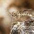 Uodas - Ditomyia fasciata | Fotografijos autorius : Kazimieras Martinaitis | © Macrogamta.lt | Šis tinklapis priklauso bendruomenei kuri domisi makro fotografija ir fotografuoja gyvąjį makro pasaulį.
