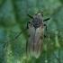 Uodas trūklys - Procladius sp. ♀ | Fotografijos autorius : Žilvinas Pūtys | © Macrogamta.lt | Šis tinklapis priklauso bendruomenei kuri domisi makro fotografija ir fotografuoja gyvąjį makro pasaulį.