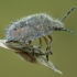 Uoginė skydblakė - Dolycoris baccarum, nimfa | Fotografijos autorius : Žilvinas Pūtys | © Macrogamta.lt | Šis tinklapis priklauso bendruomenei kuri domisi makro fotografija ir fotografuoja gyvąjį makro pasaulį.