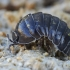 Vėdarėlis - Armadillidium vulgare | Fotografijos autorius : Gintautas Steiblys | © Macrogamta.lt | Šis tinklapis priklauso bendruomenei kuri domisi makro fotografija ir fotografuoja gyvąjį makro pasaulį.