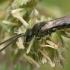 Vagabitė - Lasioglossum sp.  | Fotografijos autorius : Gintautas Steiblys | © Macrogamta.lt | Šis tinklapis priklauso bendruomenei kuri domisi makro fotografija ir fotografuoja gyvąjį makro pasaulį.
