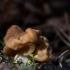 Valgomasis bobausis - Gyromitra esculenta | Fotografijos autorius : Dalia Račkauskaitė | © Macrogamta.lt | Šis tinklapis priklauso bendruomenei kuri domisi makro fotografija ir fotografuoja gyvąjį makro pasaulį.