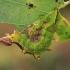 Vienkupris kuoduotis - Notodonta dromedarius, vikšras | Fotografijos autorius : Gintautas Steiblys | © Macrogamta.lt | Šis tinklapis priklauso bendruomenei kuri domisi makro fotografija ir fotografuoja gyvąjį makro pasaulį.