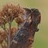 Vienkupris kuoduotis - Notodonta dromedarius | Fotografijos autorius : Gintautas Steiblys | © Macrogamta.lt | Šis tinklapis priklauso bendruomenei kuri domisi makro fotografija ir fotografuoja gyvąjį makro pasaulį.