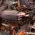 Vikrusis smiltžygis - Poecilus lepidus | Fotografijos autorius : Žilvinas Pūtys | © Macrogamta.lt | Šis tinklapis priklauso bendruomenei kuri domisi makro fotografija ir fotografuoja gyvąjį makro pasaulį.