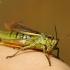 Viksvinis skėrys - Stethophyma grossum | Fotografijos autorius : Agnė Našlėnienė | © Macrogamta.lt | Šis tinklapis priklauso bendruomenei kuri domisi makro fotografija ir fotografuoja gyvąjį makro pasaulį.