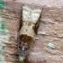 Viršūninė ropobota - Rhopobota naevana | Fotografijos autorius : Romas Ferenca | © Macrogamta.lt | Šis tinklapis priklauso bendruomenei kuri domisi makro fotografija ir fotografuoja gyvąjį makro pasaulį.