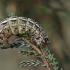 Viržinis dirvinukas - Lycophotia porphyrea, vikšras   Fotografijos autorius : Gintautas Steiblys   © Macrogamta.lt   Šis tinklapis priklauso bendruomenei kuri domisi makro fotografija ir fotografuoja gyvąjį makro pasaulį.