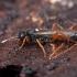 Vytis - Ichneumon cf. gratus ♀ | Fotografijos autorius : Žilvinas Pūtys | © Macrogamta.lt | Šis tinklapis priklauso bendruomenei kuri domisi makro fotografija ir fotografuoja gyvąjį makro pasaulį.