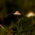 Šalmabudė - Mycena sp. | Fotografijos autorius : Irenėjas Urbonavičius | © Macrogamta.lt | Šis tinklapis priklauso bendruomenei kuri domisi makro fotografija ir fotografuoja gyvąjį makro pasaulį.