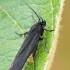 Geltonpilvė juodoji kandis - Scythris sinensis | Fotografijos autorius : Gintautas Steiblys | © Macrogamta.lt | Šis tinklapis priklauso bendruomenei kuri domisi makro fotografija ir fotografuoja gyvąjį makro pasaulį.