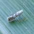 Keršoji kandelė - Phyllonorycter sp. | Fotografijos autorius : Romas Ferenca | © Macrogamta.lt | Šis tinklapis priklauso bendruomenei kuri domisi makro fotografija ir fotografuoja gyvąjį makro pasaulį.