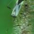 Keturtaškė žolblakė - Adelphocoris quadripunctatus | Fotografijos autorius : Gintautas Steiblys | © Macrogamta.lt | Šis tinklapis priklauso bendruomenei kuri domisi makro fotografija ir fotografuoja gyvąjį makro pasaulį.