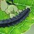 Mėlynasis alksniagraužis - Agelastica alni, lerva | Fotografijos autorius : Gintautas Steiblys | © Macrogamta.lt | Šis tinklapis priklauso bendruomenei kuri domisi makro fotografija ir fotografuoja gyvąjį makro pasaulį.
